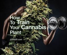 Use these techniques while growing your cannabis plants - LST, FIM, topping, SCROG, SOG, super cropping - to maximize cannabis yields.