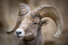 Ram Portrait, Ram Close Up, Wildlife Photography, Fine Art, Nature Photography, Animal Photography, Rob's Wildlife, Epic Wildlife Adventures by RobsWildlife on Etsy https://www.etsy.com/listing/217004065/ram-portrait-ram-close-up-wildlife