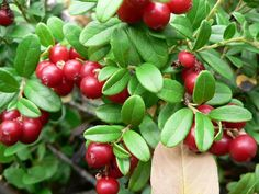 Lingonberries are delicious! Excellent for jam making. (Never heard of these..eg)