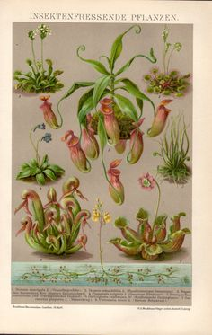 1898 Carnivorous plants Antique Print Vintage by Craftissimo, €24.95