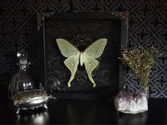 Victorian Luna Moth Shadow Box, Taxidermy, Real Butterfly, Framed Butterfly, Preserved Butterfly, Victorian, Memento Mori, Gothic Decor by beyondthedarkveil on Etsy https://www.etsy.com/ca/listing/539774980/victorian-luna-moth-shadow-box-taxidermy
