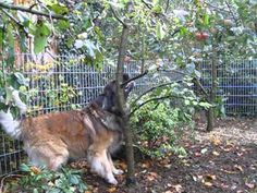 This poor Leonberger basically shows here with this apple how life is - a tough struggle for things so often just out of reach.