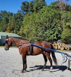 TeeDee is our 7 yr old registered Standardbred Pacer. Foaled in Lexington, Ky in 2013, originally named Jack Knife Hall. He was raced when he was younger. Freeze brand is 1L551. Sired by Third Straight, and Dam was Jus Chillin. He is very sweet, a very in your pocket gelding, wants to be wherever you are! Stands at 16 hands.