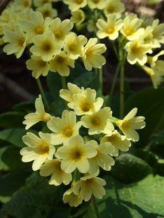 """Juhui, wie hab ich mich schon darauf gefreut, die ersten Ringelblumen aus unserem eigenem Garten! Weil der Wetterbericht bis zum Wochenende Regen ankündigt, haben wir heute Vormittag unsere ersten Ringelblumen geerntet. Denn ja, sie sollen trocken sein, für den """"kalten Ringelblumen-Ölauszug"""" (auch Mazerat genannt). Sind die Pflanzenteile zu feucht, kann das Öl leicht kippen und schimmlig werden. Und so wird's gemacht: - ernte an einem sonnigen Vormittag die Köpfe (oder nur die B..."""