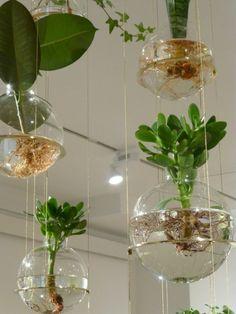 hängende topfpflanzen geldbaum gummibaum jungpflanzen                                                                                                                                                                                 Mehr