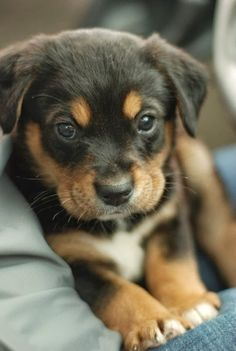Black and tan puppy