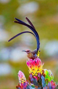 Sugar bird on a Protea