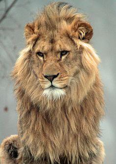 afrikaanse leeuw Beekse bergen IMG_0012 by j.a.kok on Flickr.