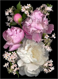 On the Lighter Side: Pale-colored buxom peony blossoms contrast with the little light pink trumpet flowers from old-fashioned beauty bush, Kolkwitzia amabilis. Photo by Ellen Hoverkamp, courtesy Stewart, Tabori & Chang (c) 2012 My Flower, Flower Art, Beauty Bush, Online Flower Delivery, Botanical Prints, Belle Photo, Floral Arrangements, Beautiful Flowers, Gardening