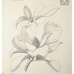 Flower Drawing Discover Magnolia grandiflora L. [as Magnolia foetida (L.] bull bay loblolly magnolia southern magnolia Sargent C. The Silva of North America vol. Flower Sketches, Drawing Sketches, Art Drawings, Flower Drawings, Botanical Drawings, Botanical Prints, Plant Drawing, Painting & Drawing, Flor Magnolia