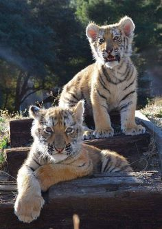 Gorgeous pair of cute adorable wee Tiger Cubs. I Love Cats, Big Cats, Cute Cats, Animals And Pets, Baby Animals, Cute Animals, Tiger Pictures, Animal Pictures, Beautiful Cats