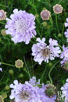 'Butterfly Blue' pincushion flower is true to its name, attracting butterflies of all shapes and sizes to its lavender-blue blooms. #gardening #gardenideas #perennialtips #perennialflowers #perennialgarden #bhg