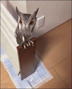 Owl is increasing (gif)