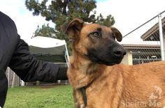 A história da pastora alemã Zuzu, de 2 anos, é de partir o coração dos amantes de animais. A cadelinha foi abandonada em um abrigo de animais na Califórnia após a morte de seu pai. Seus donos perceberam que a perda deixou Zuzu muito triste e eles não conseguiram lidar com a pequena.