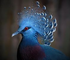 Victoria  Crowned Pigeon...