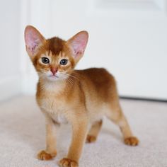 """Abyssinian kitten. These cats are supposed to be """"dog-like."""""""