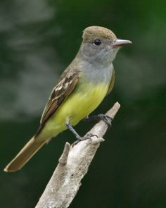 great crested flycatcher photo | Great Crested Flycatcher, pulling alpaca wool from my bird station