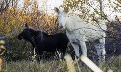 Albino Animals - A rare gene causes lack of pigmentation and leaves a small percent of animals white with pink eyes. Albino Moose, Moose Antlers, Bull Moose, Fallow Deer, Roe Deer, Deer Family, Interesting Animals, Aquatic Plants, Pink Eyes