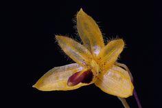Bulbophyllum aestivale