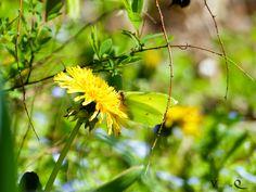 Der erste Schmetterling ist der Zitronenfalter