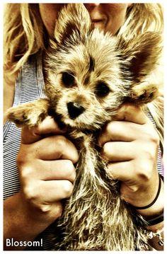 A porky.... Pomeranian/yorkie (meet blossom) We love our yorkie Pom, best dog ever!