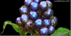 Este es el color ms brillante que puedes encontrar en la naturaleza - http://www.leanoticias.com/2012/09/18/este-es-el-color-ms-brillante-que-puedes-encontrar-en-la-naturaleza/