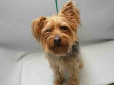 SAFE 2-5-2016 by Anarchy Animal Rescue --- SUPER URGENT Brooklyn Center FELIX – A0916104  ***RETURNED 01/30/16***  NEUTERED MALE, TAN / BLACK, YORKSHIRE TERR MIX, 6 yrs OWNER SUR – ONHOLDHERE, HOLD FOR ID Reason NEW BABY Intake condition EXAM REQ Intake Date 01/30/2016