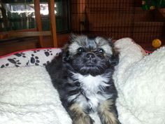 Cute Maltese Shihtzu Puppy - Molly
