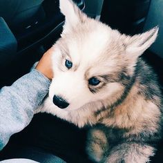 ☆ Follow us @popcherryau for more cute animals ☆ baby husky // blue eyes // doggy // adorable puppy