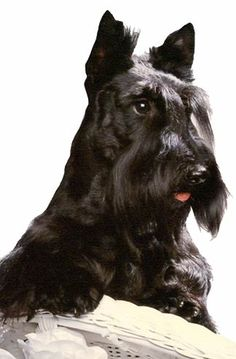 Image detail for -Scottish Terrier Puppies | Dog breed insight