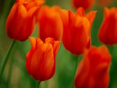 Google Image Result for http://images.nationalgeographic.com/wpf/media-live/photos/000/014/cache/orange-tulips-blair_1477_990x742.jpg