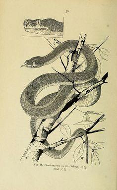 wapiti3: The reptiles of the Indo-Australian archipelago by Nelly de Rooij. on Flickr. Via Flickr: Publication info Leiden :E.J. Brill,1915...