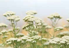 Cickafark (Achillea collina) Achillea Millefolium, Herbs, Plants, Tips, Herb, Plant, Planets, Medicinal Plants