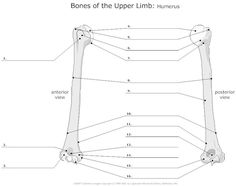 unlabeled skeleton humerus | Unlabeled Skeleton Worksheet