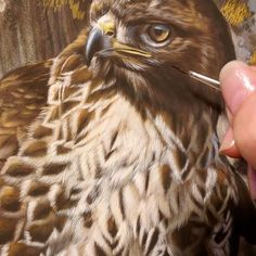 "Red Tailed Hawk painting in color phase. 14"" x 11"", detail, watercolor on board, ©Rebecca Latham  My model is one of the beautiful ambassadors from the Avian Reconditioning Center for Birds of Prey in Florida.  #wildlife #watercolor #art #animals #painting #miniature #nofilter #artist #miniatureart #realism #workinprogress #animallovers #raptor #raptors #redtail #redtailedhawk"