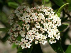 http://faaxaal.forumgratuit.ca/t2911-photo-de-viorne-hybride-viorne-de-prague-viburnum-x-pragense-viburnum-pragense-prague-viburnum
