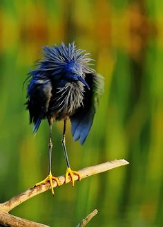 The Black Egret, or Black Heron, is an African heron.  The Black Heron has an interesting hunting method called canopy feeding—it uses its wings like an umbrella, and uses the shade it creates to attract fish.