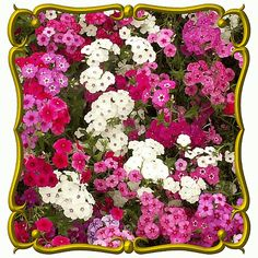 Klisaz Shop (Unique acessories and rare seeds): Jual benih / seeds / bibit flower Phlox drummondii...