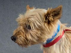 Petango.com – Meet Skipper, a 9 years 2 months Terrier, Cairn available for…