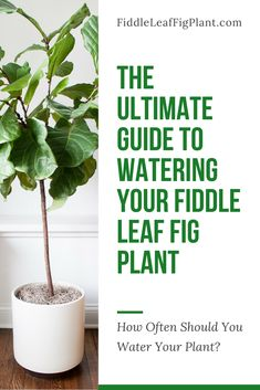 to view the ultimate guide to watering your Fiddle Leaf Fig Plant. Learn how often you should be watering your Fiddle Leaf Fig Plant. Fig Leaf Tree, Fig Leaves, Fig Tree Plant, Indoor Fig Trees, Indoor Plants, Indoor Gardening, Flower Gardening, Fig Plant Indoor, Gardening Tips