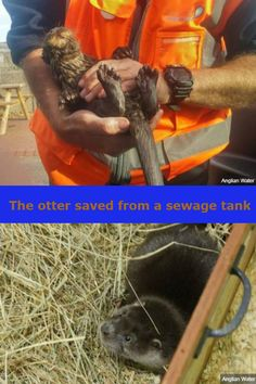 An otter who was saved from drowning by an Anglian Water technician who fished him out of a sewage tank in Suffolk has been reunited with the saviour who rescued him Bbc News, Otters, Animal Rescue, Pets, Animals, Animales, Otter, Animaux, Animal Welfare