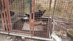 This petition supports the efforts of Korea Animal Rights Advocates(KARA) to get the Damyang District Office to rescue the surviving dogs left in wire cages with the carcasses of dead dogs at the illegal dog farm in Damyang, Jeollanam-do, South Korea. Click for details and please SIGN and share petition in support!