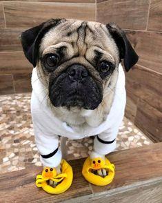 Pug Puppies for sale - Sweet Pugs Pug Puppies For Sale, Cute Dogs And Puppies, Baby Pugs For Sale, Doggies, Black Pug Puppies, Cute Funny Animals, Cute Baby Animals, Jungle Animals, Doug The Pug