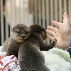 Otter pup gives a high five - January 7, 2013