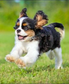 """""""""""Sometimes I wish I had brakes!"""" #dogs #pets #CavalierKingCharlesSpaniels Facebook.com/sodoggonefunny"""" Cute, but not as cute as my Cavalier! (I'm very biased)"""