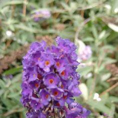 My Wishlist Flowering Shrubs, Trees And Shrubs, Black Knight Butterfly Bush, Colorful Flowers, Dark Purple, Garden, Plants, Flowering Bushes, Garten