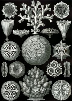 Google Image Result for http://krisbunda.com/blog/wp-content/uploads/2011/07/9-Haeckel_Hexacoralla.jpg