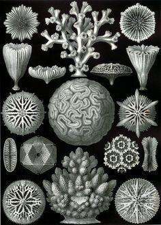 Resultados de la Búsqueda de imágenes de Google de http://siobhan-gallagher.com/couch/uploads/image/Blog/40-%2520Ernst%2520Haeckel/9-Haeckel_Hexacoralla.jpg