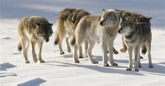 Gray wolves in Isle Royale National Park