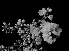 j.africk black and white, flower
